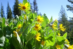 wooly mule ears. thousands of them covering the mountainsides