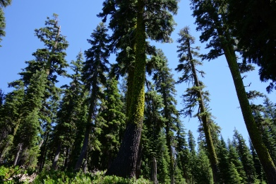 i love these huge conifers. these are the trees i have always wanted to hike through.