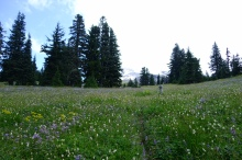 Paradise park on the side of mt hood was full of wildflowers.