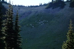 Goats feasting on the mountainside Grass
