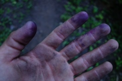 This is what dirty hands look like after feasting on huckleberries all day on the mountainside.