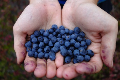 thousands upon thousands of blueberries.