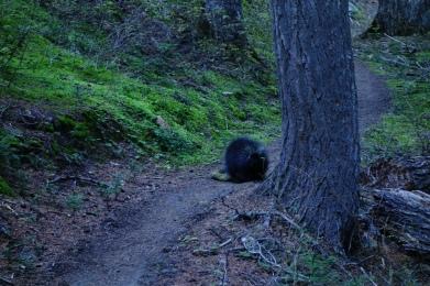 Huge porcupine.